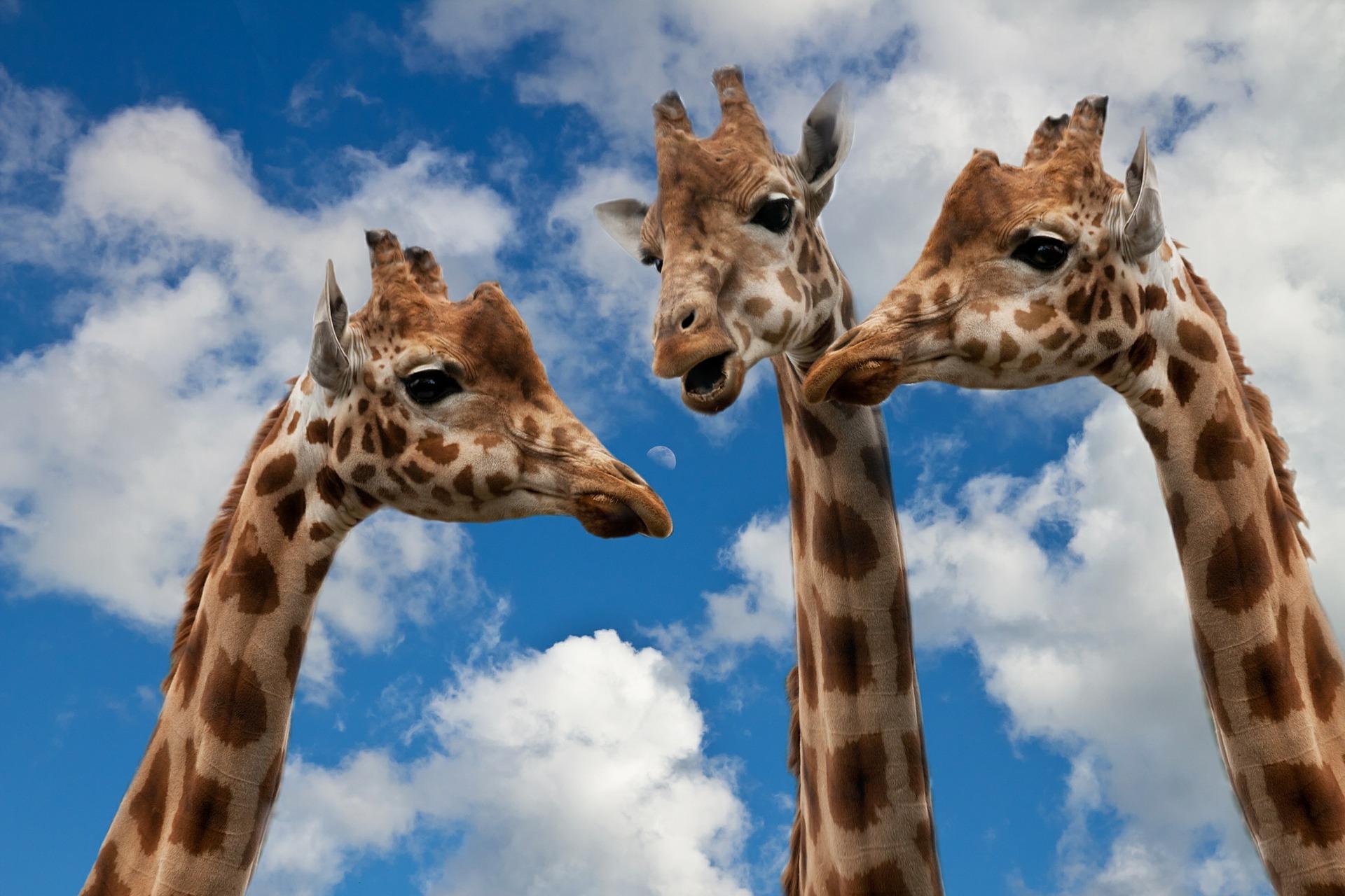 komunikace - žirafy